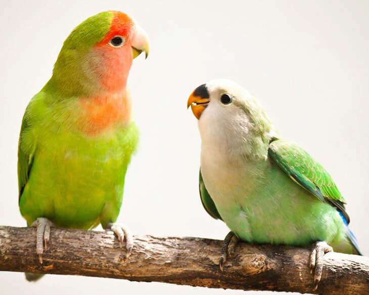 Two Lovebirds on Branch