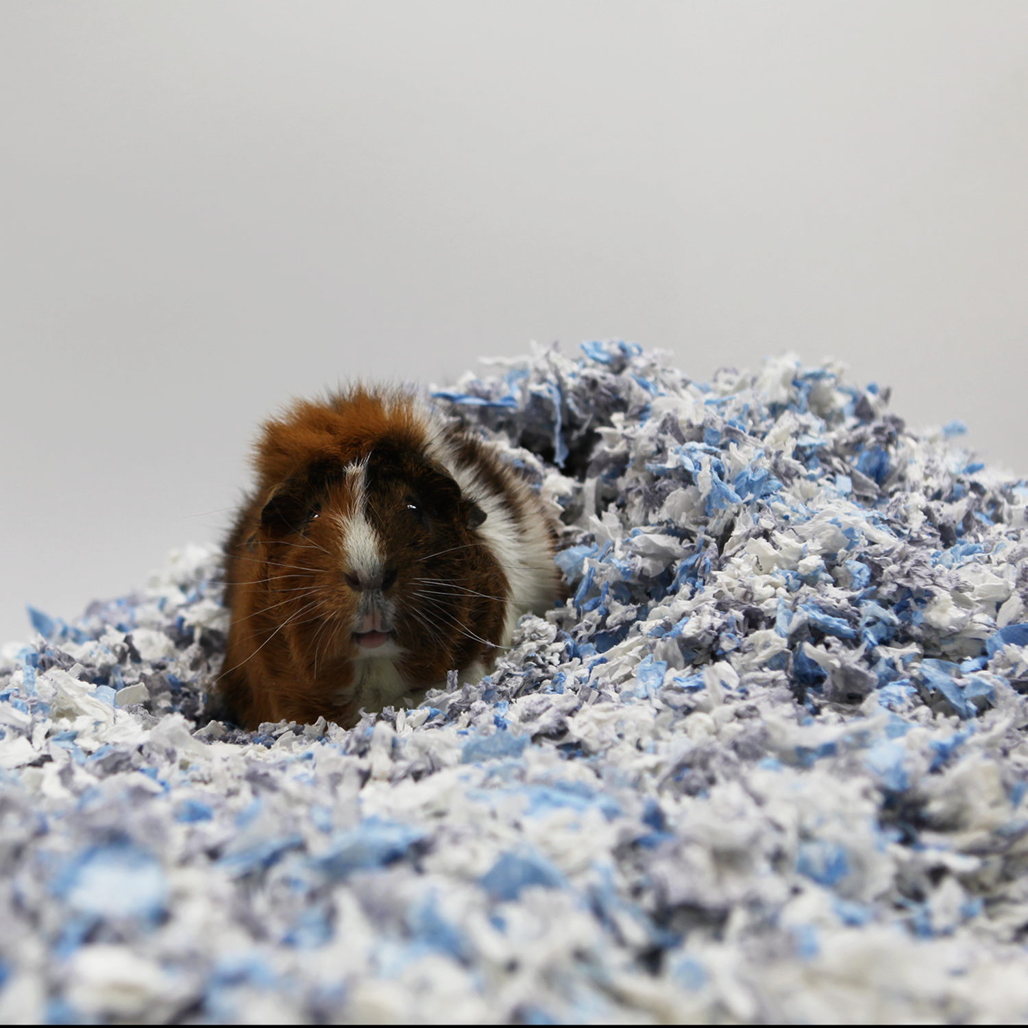 Guinea Pig Playing in Bedding