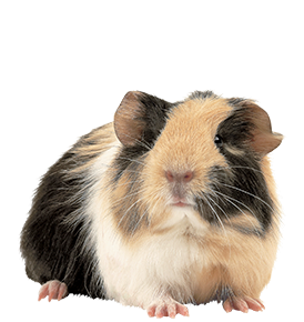 Tri-Colored Guinea Pig