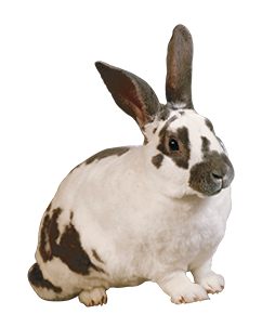 Spotted Rabbit